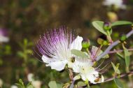 Common Caper 10 Seeds - Shrub/Profusion of Flowers/Scented